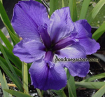 Purpleirisenew.png