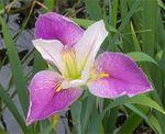 Irisespurpwhite1.jpg