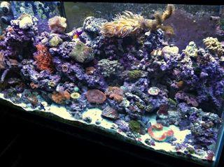 Matt's 90 Gallon Reef Tank
