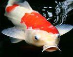 Pondfish.jpg